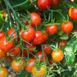 Tomate Cerise BIO 0,2 gramme