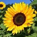 Tournesol (soleil) BIO - 3 grammes (+/- 50 graines)