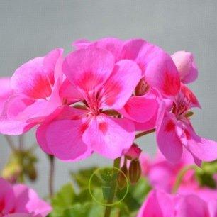 Géranium droit rose : rose