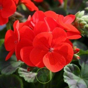 Géranium droit Scarlet : rouge