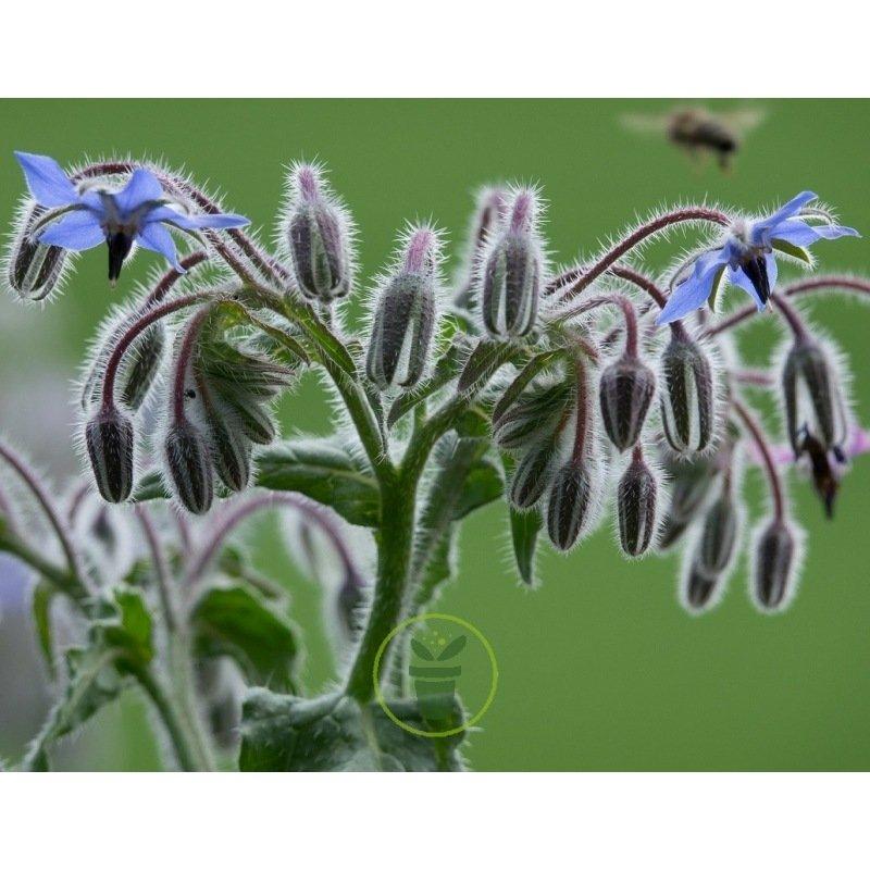 jardin méthode BIO plante aromatique 40 Graines de Bourrache Officinale