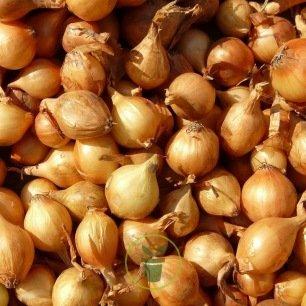 Échalote à planter Golden Gourmet