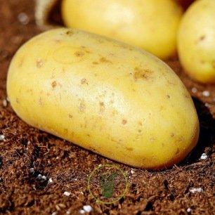 Plant de pomme de terre Goldmarie BIO - 1 kg