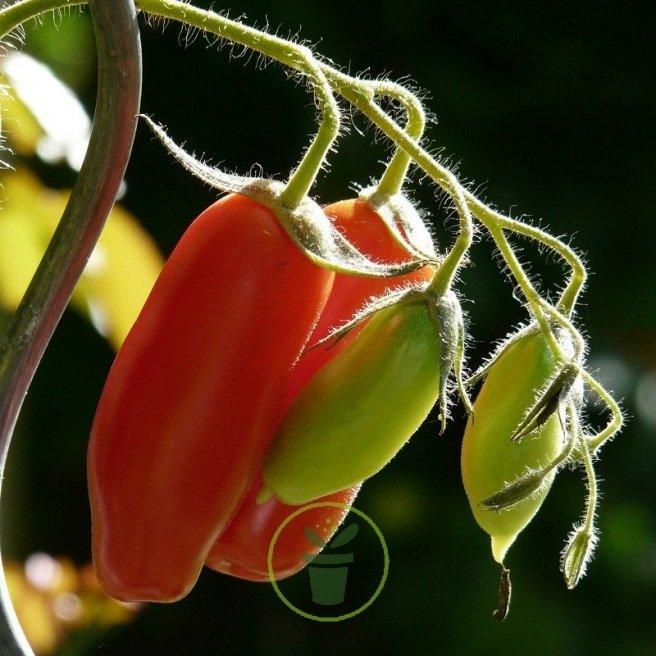 Tomate Andine Cornue 0,2 gr. (+/- 80 graines)