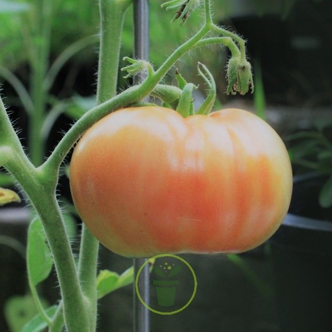 Tomate Ananas 0,2 gr. (+/- 80 graines)