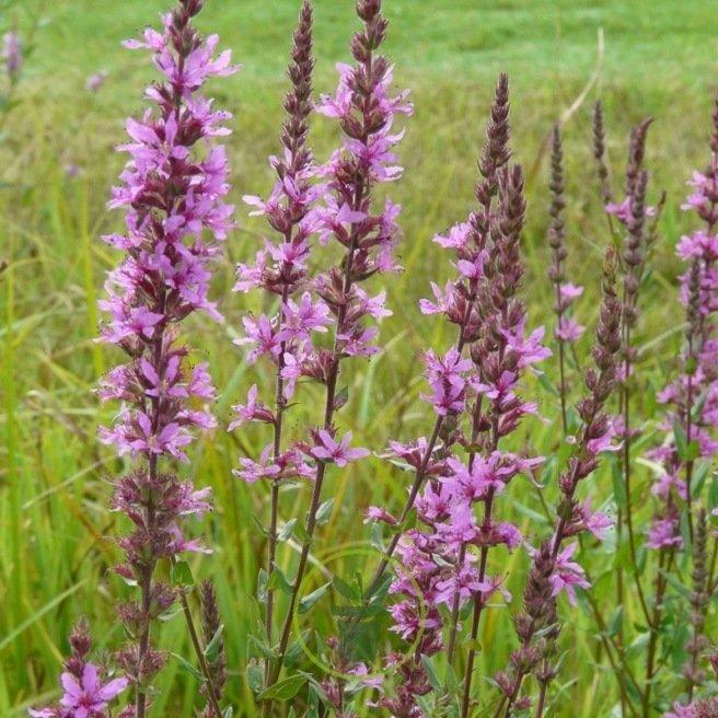 Salicaire - Lythrum salicaria 1000 graines