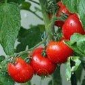 Tomate cerise pour balcon BIO