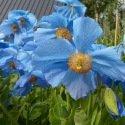 Pavot bleu de l'Himalaya – Meconopsis betonicifolia