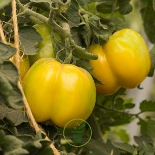 Tomate Yellow Stuffer 0,2 gr (+/- 80 graines)