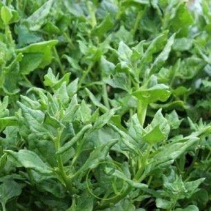 Tétragone cornue - faux épinard 60 graines