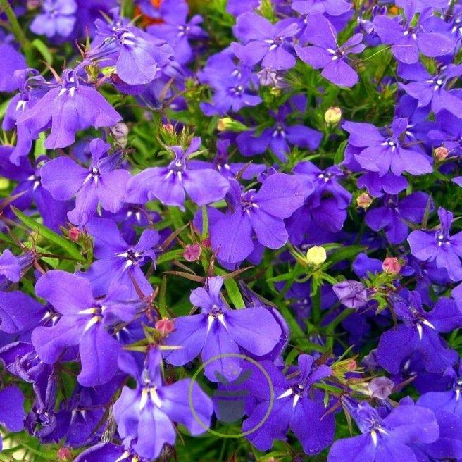 Lobélia pendula Blue Cascade 4000 graines