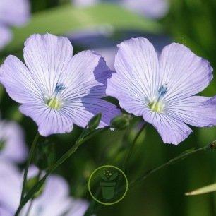 Lin à grande fleur rouge ou lin vivace bleu
