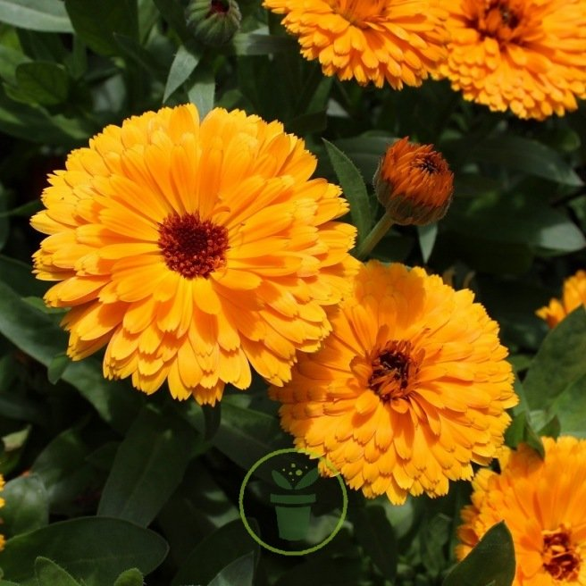 Souci Ball's Orange BIO - Calendula officinalis