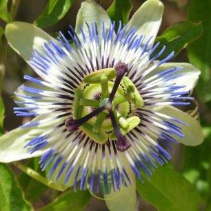 Passiflore bleue - Passiflora caerulea 50 graines