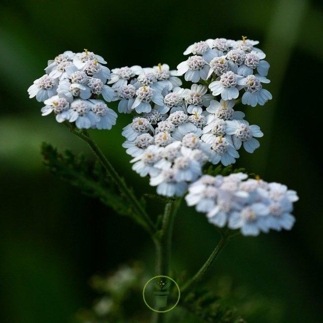 Achillée millefeuille - Achillea millefolium 2000 graines