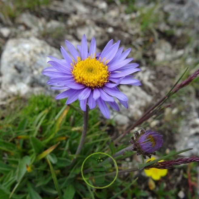 Aster alpinus Light Blue 100 graines