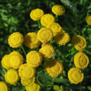 Tanaisie (Tanacetum vulgare) 1000 graines