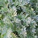 Absinthe - Artemisia absinthium 2000 graines