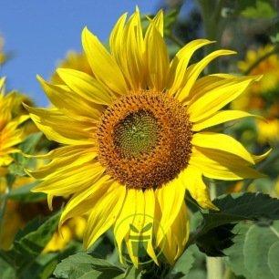 Tournesol (soleil) nain Sunspot BIO
