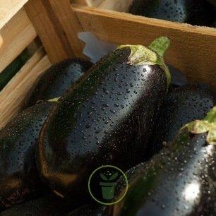 Aubergine Black Beauty 60 graines