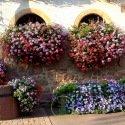 Géranium retombant (balcon) Summertime 8 graines