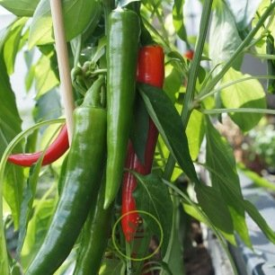 Piment Anaheim Chili Long Rouge 100 graines