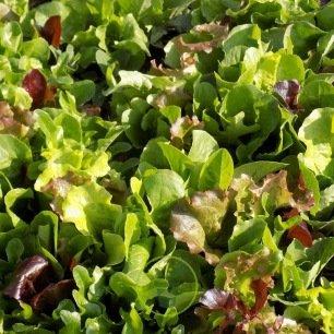 Mesclun , salades en mélange 2 grammes