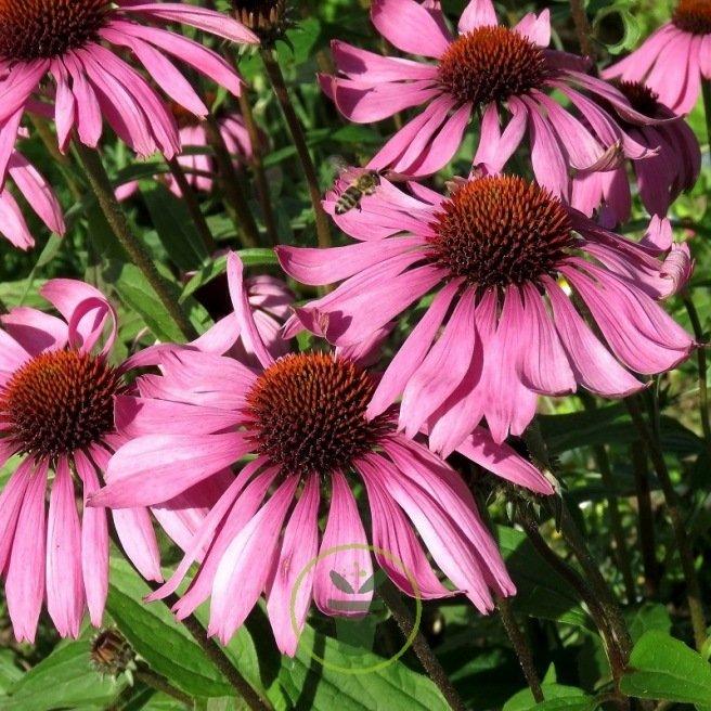 Rudbeckia Gloriosa Daisy