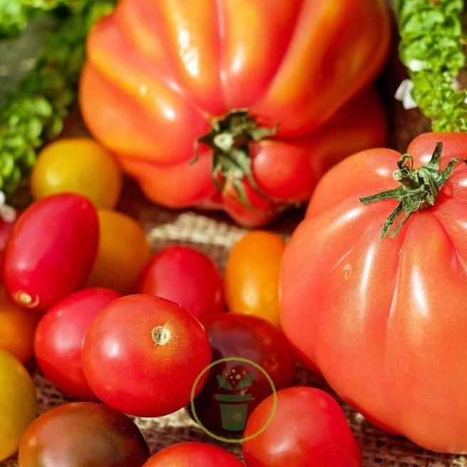 Tomates classiques et originales - Pack de 5 sachets de graines