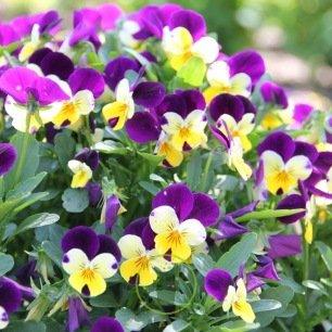 Violette cornue variée 200 graines