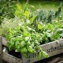 Plantes aromatiques et condimentaires – Pack de 8 variétés
