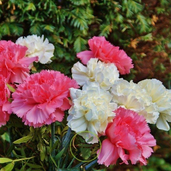 Oeillet des fleuristes varié 100 graines