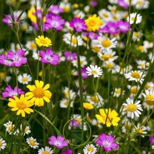 Mélange de fleurs sauvages 2 grammes