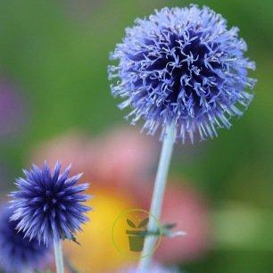 Echinops ritro Blue Globe - Chardon bleu 100 graines