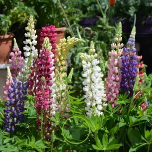 Lupin mélange 100 graines