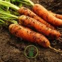 Astuces pour lutter contre la mouche de la carotte, insecte ravageur de nos potagers