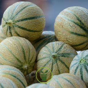 Melon 30 graines