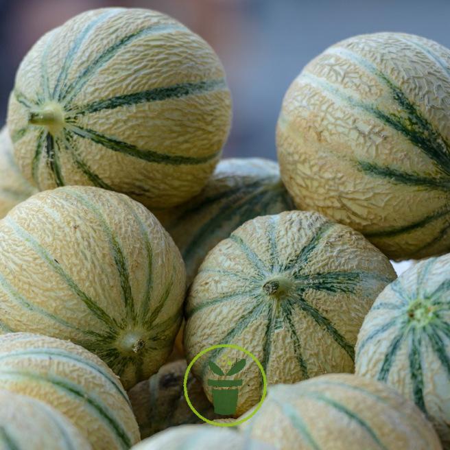 Melon savor 30 graines