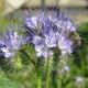 Phacélie tanacetifolia bleu clair BIO 0,5 gramme (+/- 250 graines)