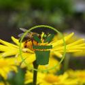 Quand semer des fleurs mellifères au jardin ?