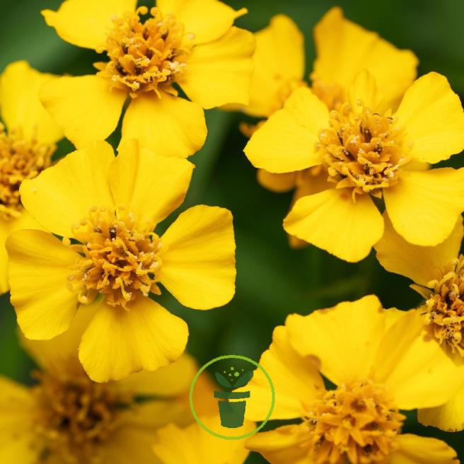 Tagète lucida - Estragon du Mexique BIO 0,2 grammes (+/- 200 graines)