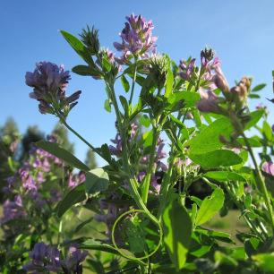 Luzerne - Alfalfa 80 grammes