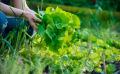 Comment blanchir ses légumes d'hiver au potager ?