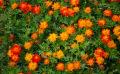 Quelles sont les plantes tinctoriales à cultiver au jardin ?
