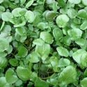 Cresson de jardin 1000 graines