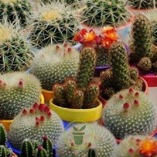 Cactus en mélange 100 graines