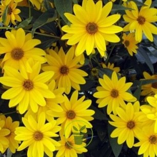HELIOPSIS SCABRA DARK YELLOW 200 graines