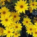Heliopsis scabra Dark Yellow 400 graines