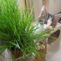 Herbe à chat 15 grammes