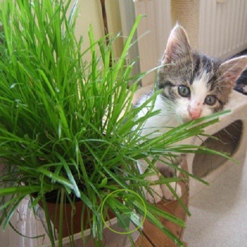 graines d herbe chat votre chat il en raffole. Black Bedroom Furniture Sets. Home Design Ideas